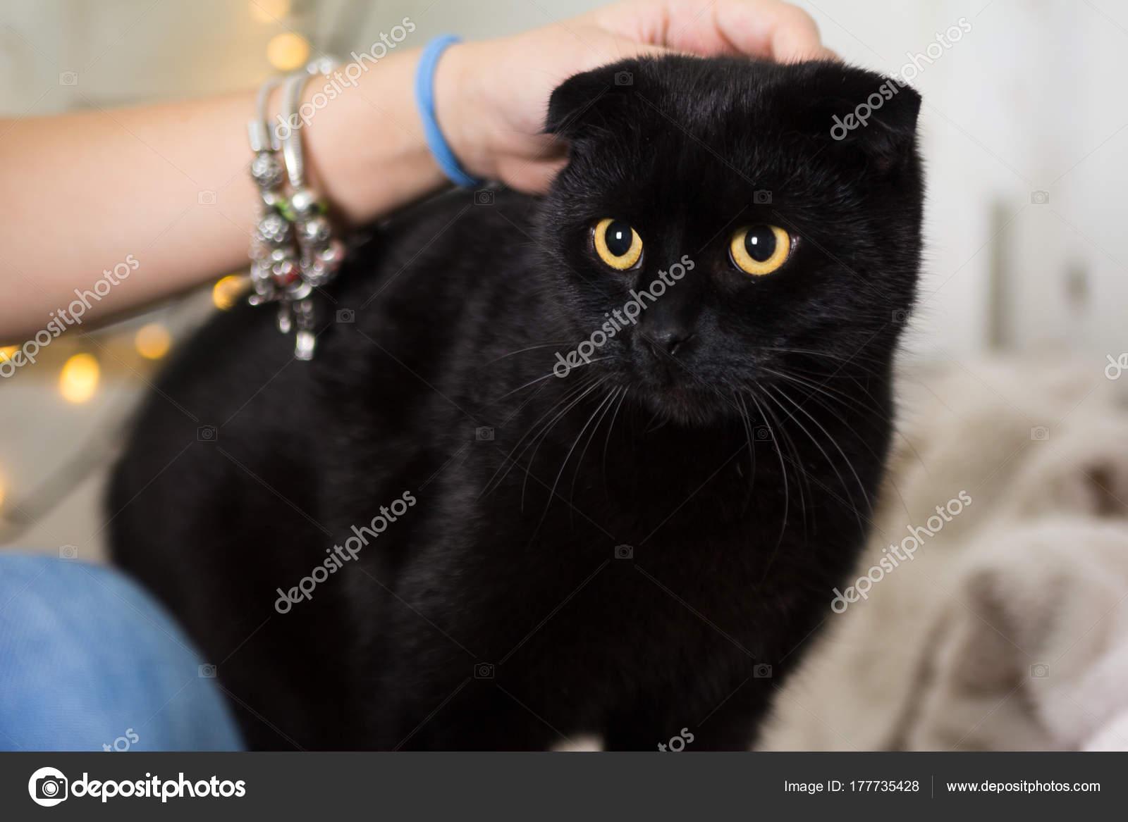 Black Scottish Fold cat wearing Christmas costume. Year of the dog concept u2014 Stock Photo & Black Scottish Fold cat wearing Christmas costume. Year of the dog ...