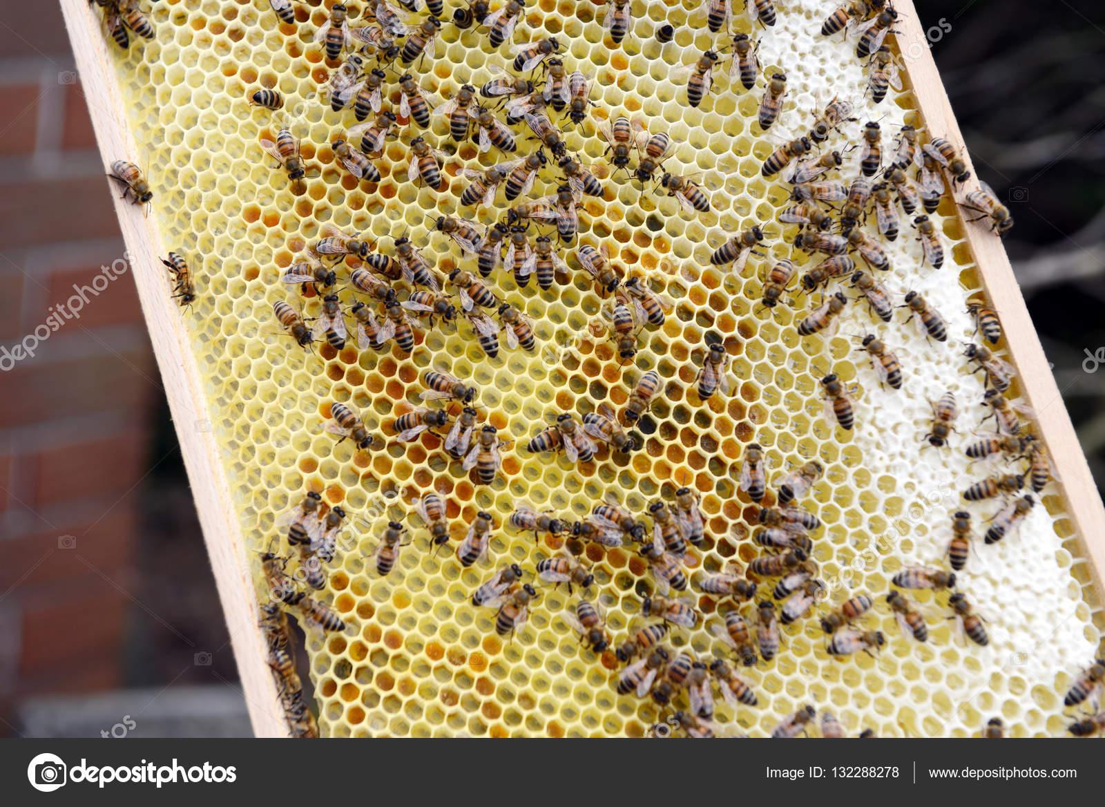 encargado de la abeja en los marcos de la colmena de la abeja de ...