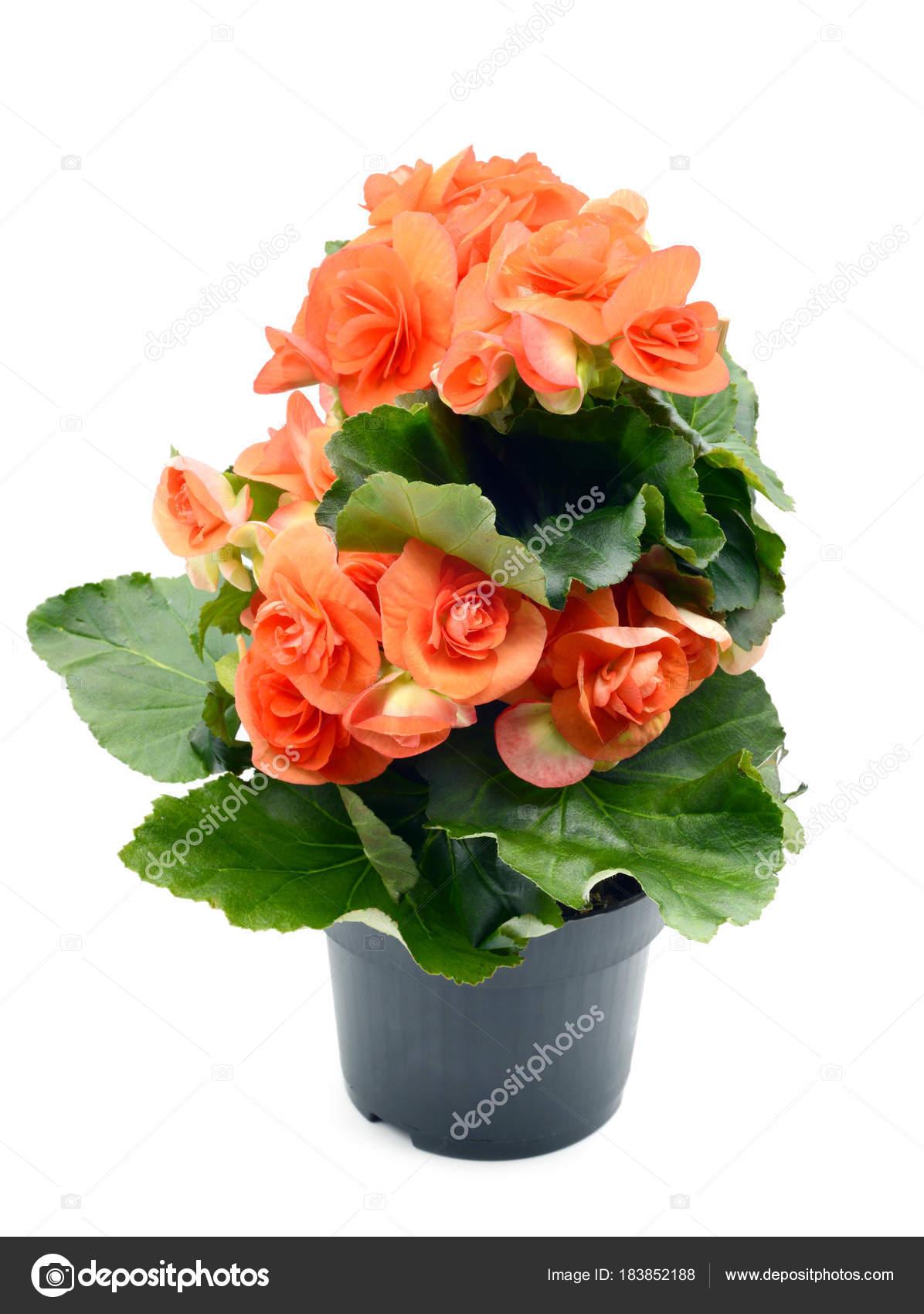 fleur de begonia elatior rouge orange en pot de fleurs blanc isol photographie lcrms7. Black Bedroom Furniture Sets. Home Design Ideas