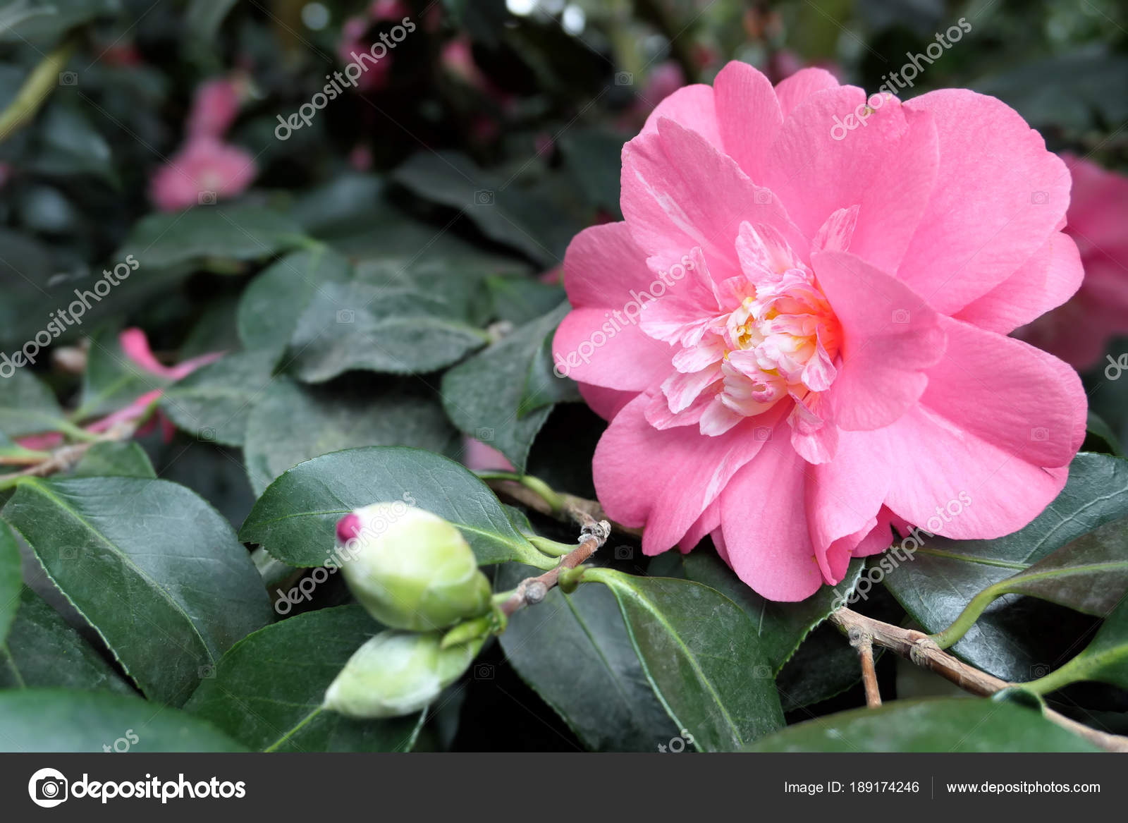 Pink Red Camellia Flower Heads Of Bush In Blossom Stock Photo
