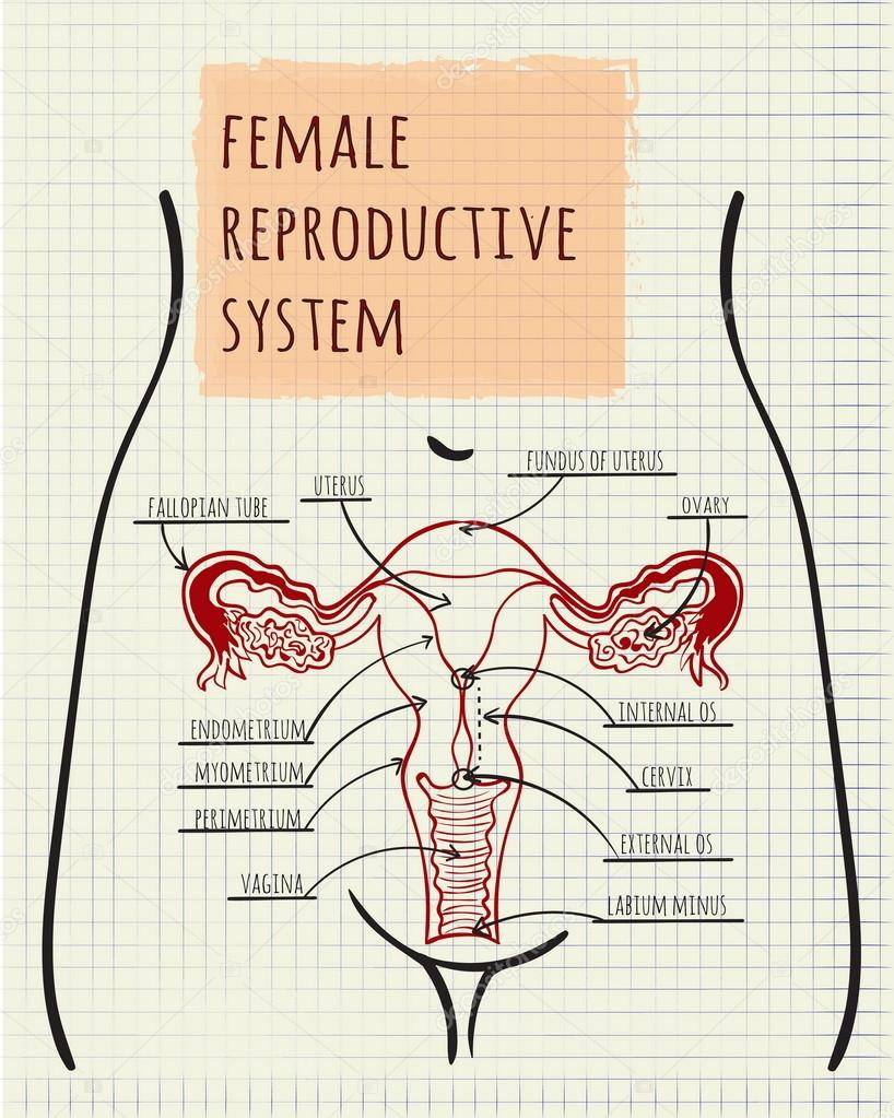 Diagram Of The Female Reproductive System Stock Vector