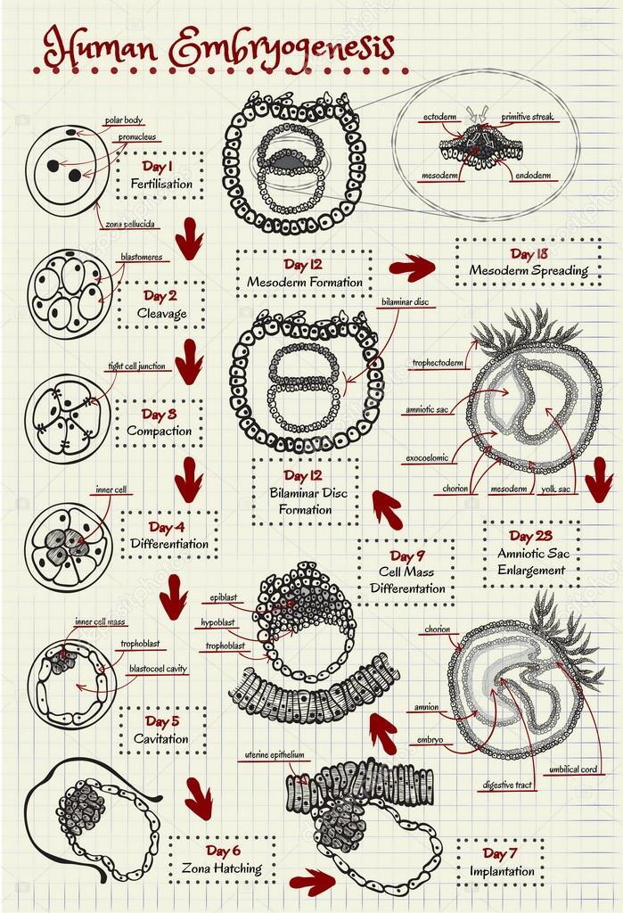 el diagrama de la embriogénesis humana — Archivo Imágenes ...
