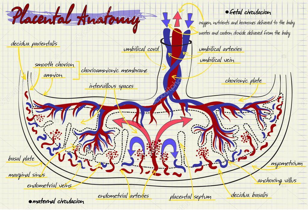 diagrama de la estructura de la placenta humana — Archivo Imágenes ...