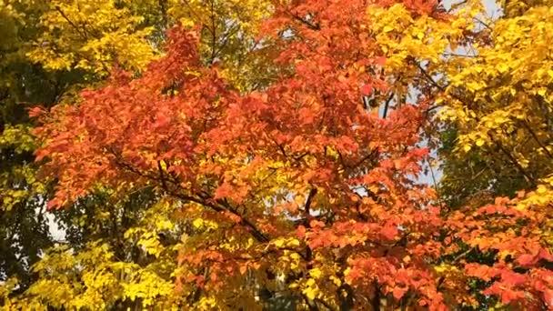 Podzimní stromy jilm s červenými a žlutými listy