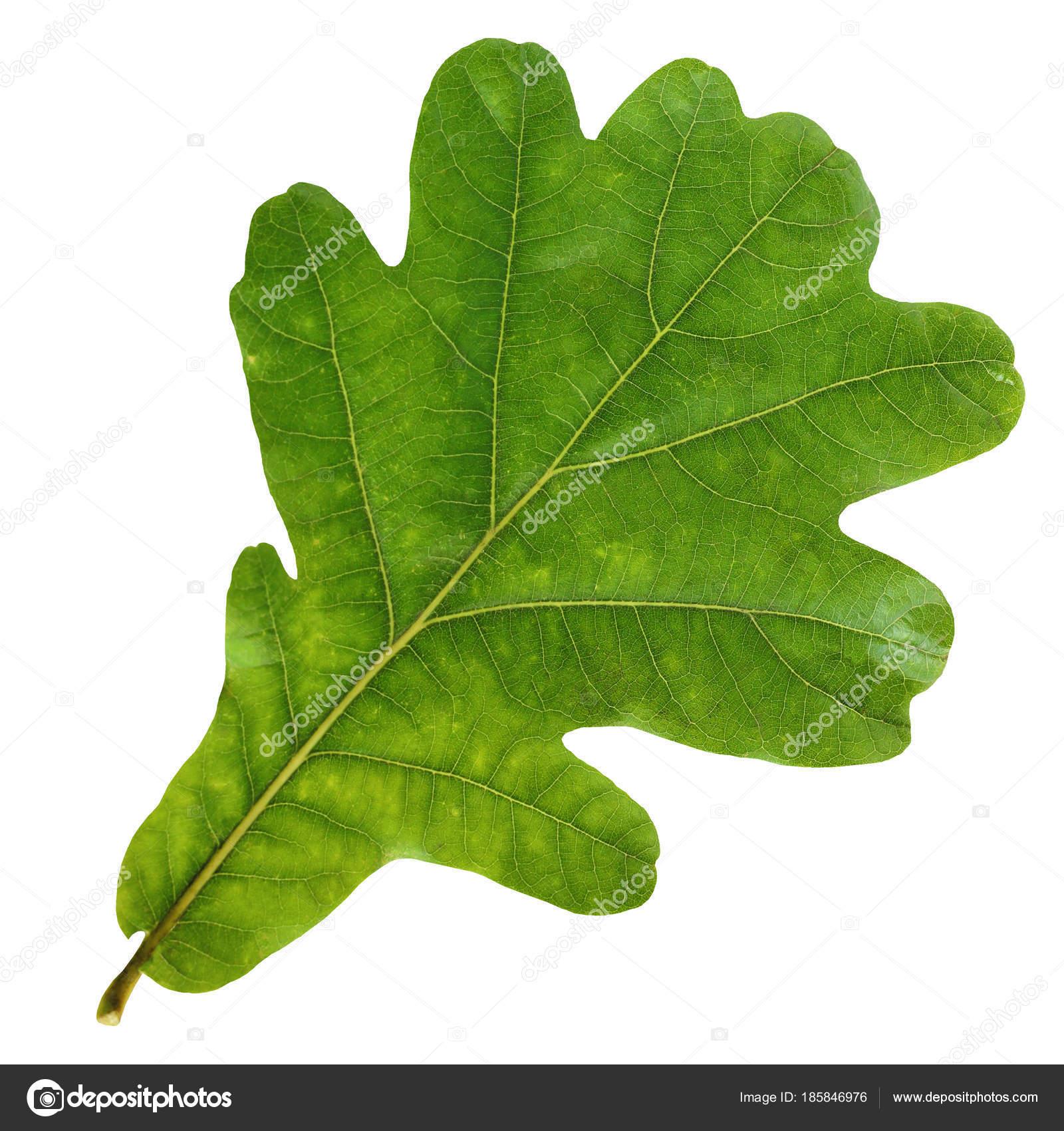 Im genes hoja del roble hoja de roble verde aislada - Fotos del roble ...