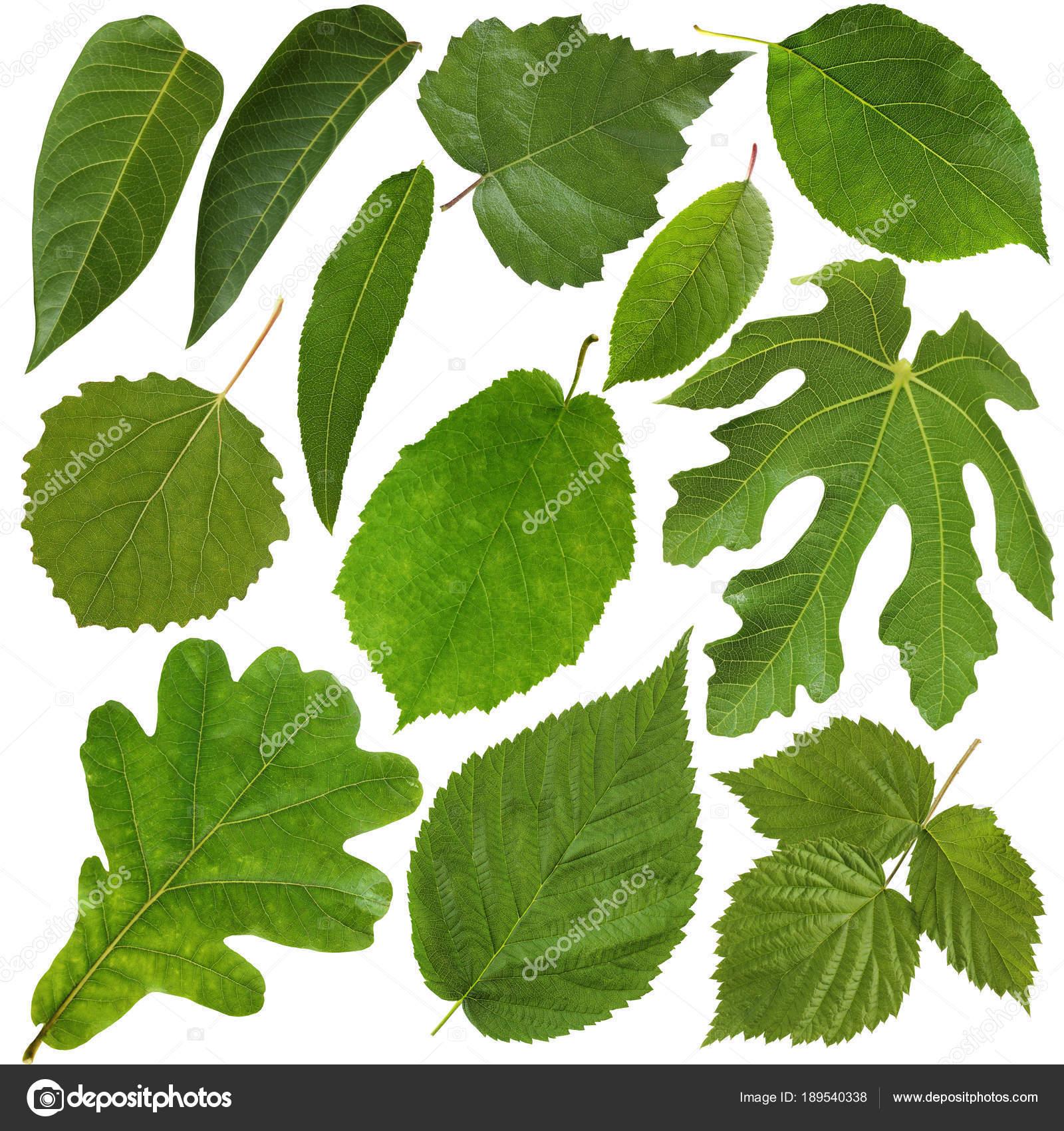 Fotos hojas de arboles frutales hojas verdes aisladas for Arboles frutales de hoja caduca