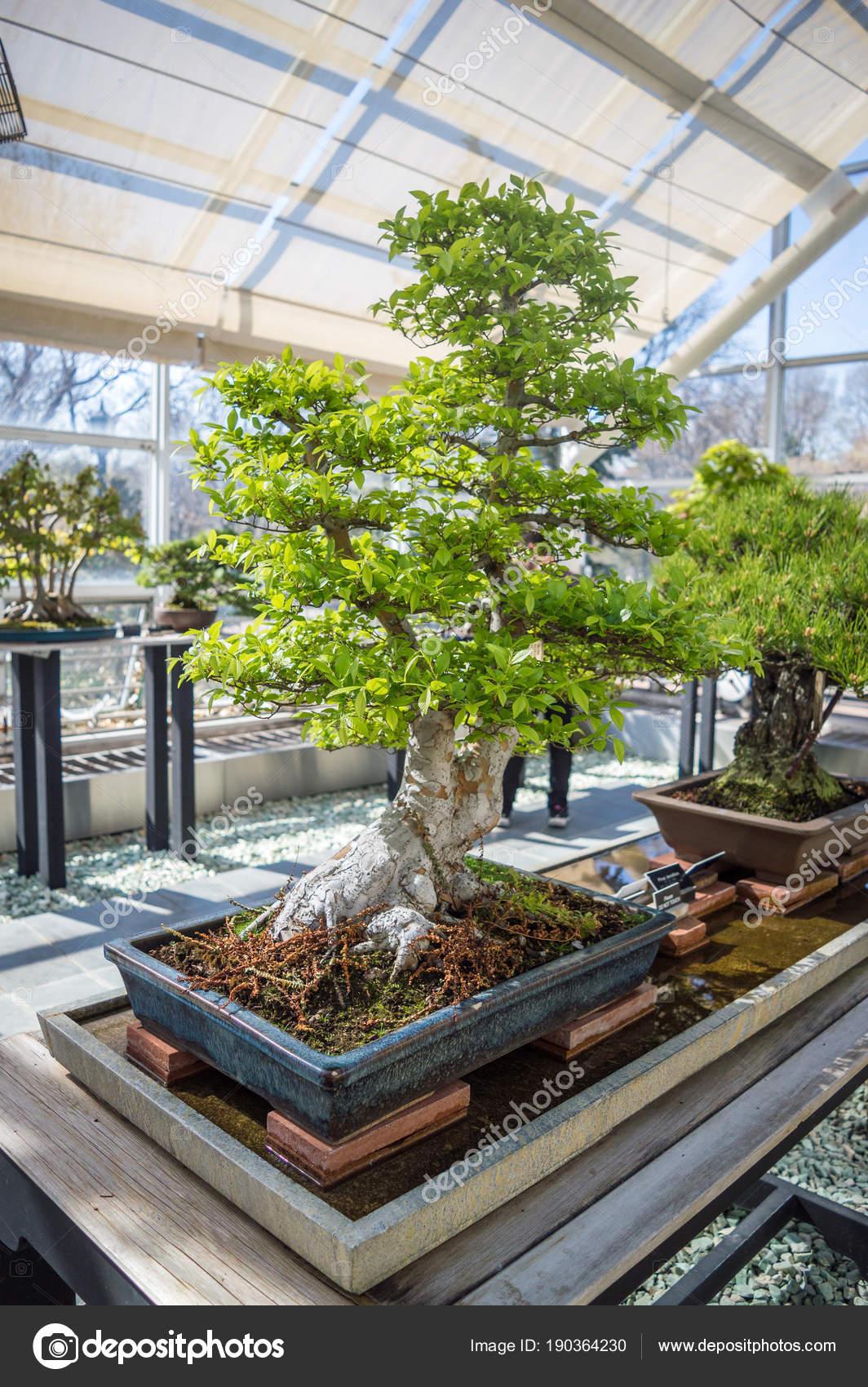 New York Usa April 2016 Bonsai Exhibition Brooklyn Botanic Garden Stock Editorial Photo C Seaseal 190364230