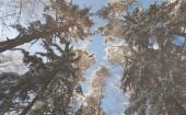 Corone di alberi coperti di neve sui precedenti del cielo
