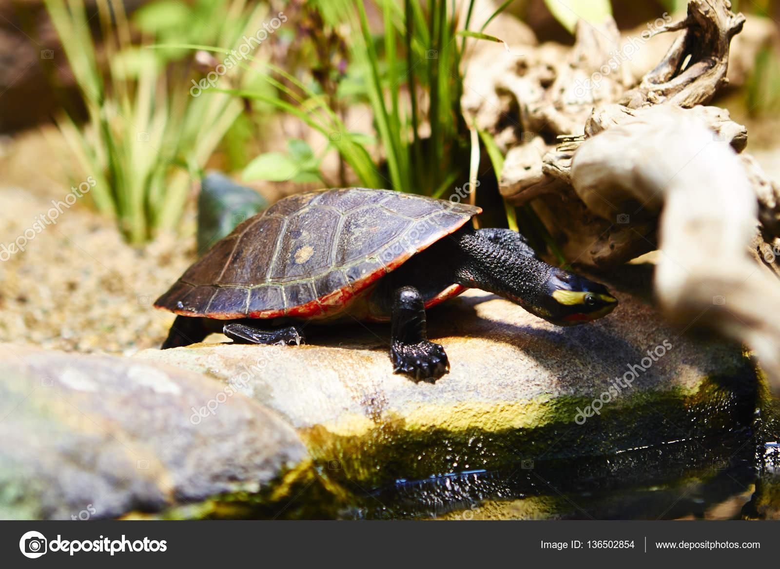 Kleine Schildkröte Im Terrarium Berlin Stockfoto Kmizina 136502854