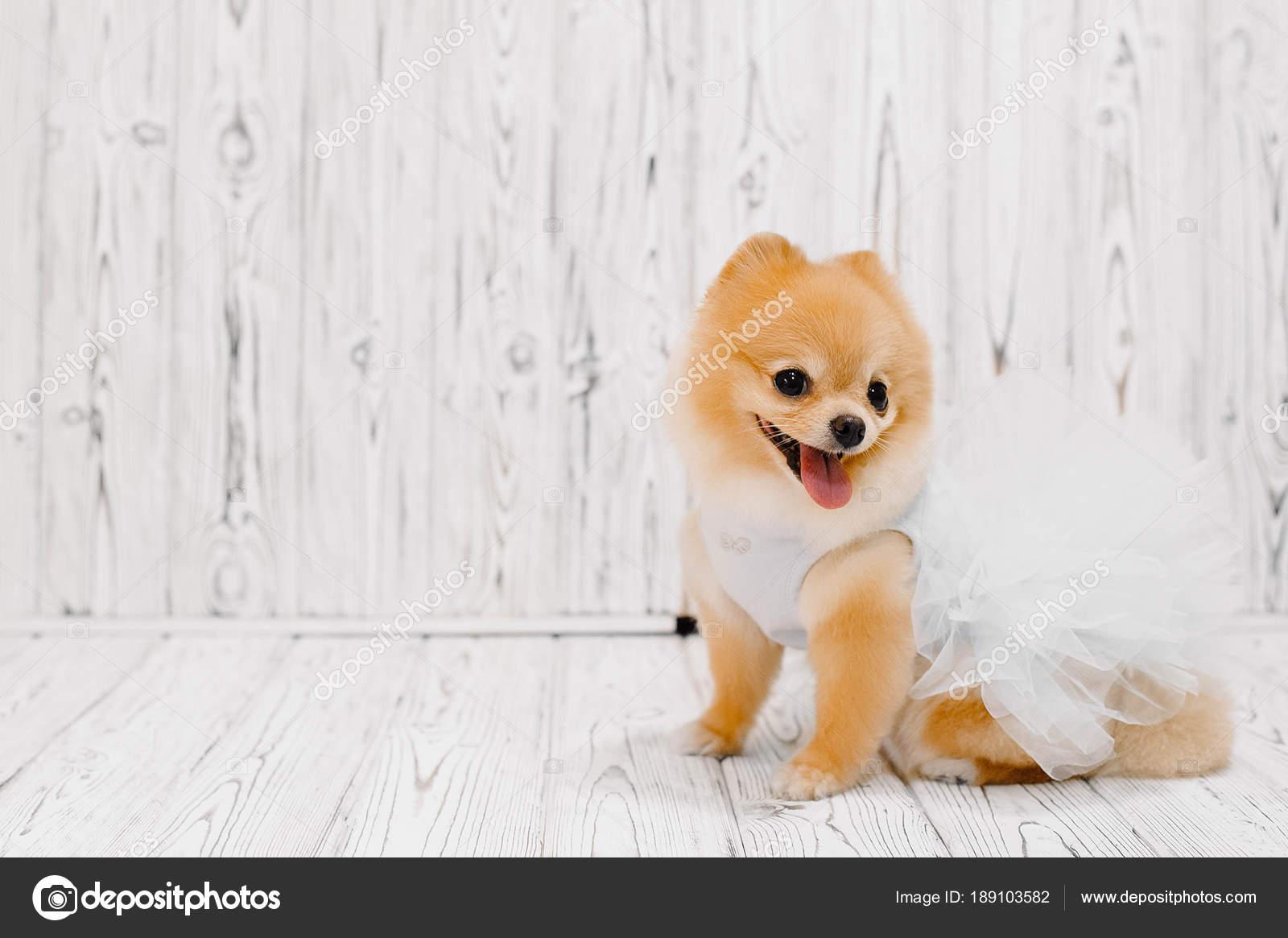 Fondo En Stock De Hermoso Pomerania Foto — Pomeranian Madera MqSzGLUVp