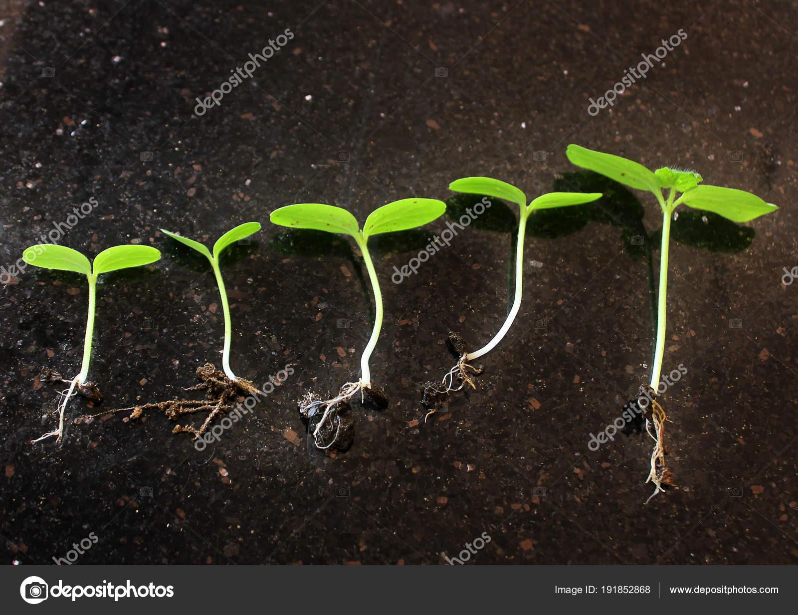 seedlings growing plants grow stages seedlings growth periods