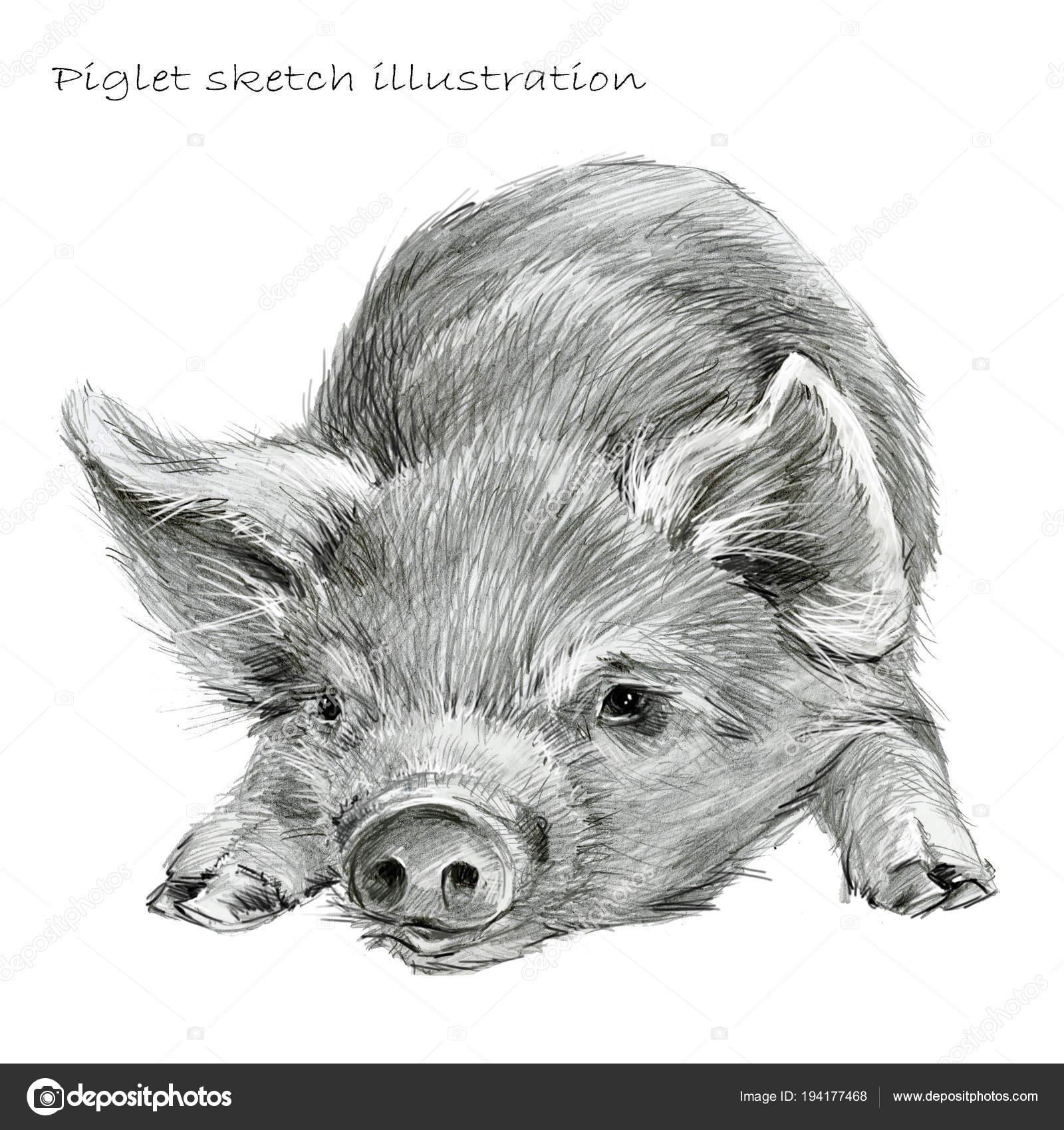 Cute piglet pig hand drawn pencil sketch illustration stock photo