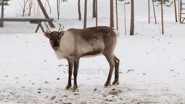 Fiatal rénszarvas áll a karámba télen Ivalótól, Finnország.