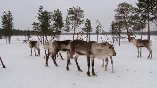 Rénszarvasok csoportja állni a karámba télen Ivalótól, Finnország.