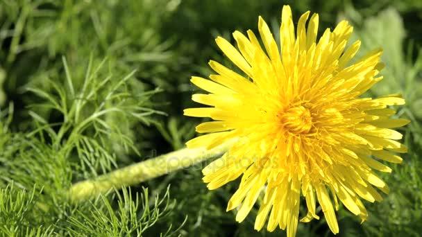 Žlutá Pampeliška květ se zeleným pozadím v poli na jaře.