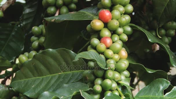 Coffee beans growing at the Doi Ang Khang Royal Agricultural station in Chiang Mai, Thailand.