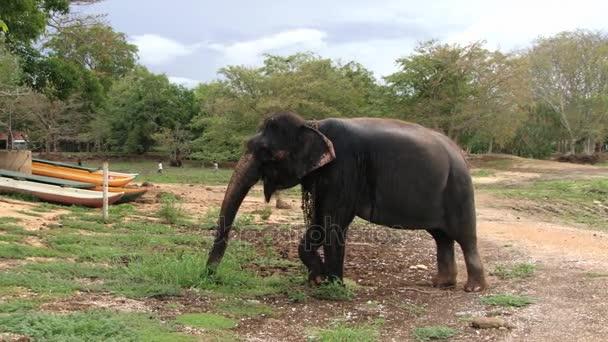 Old elephant eats grass in a village in Trincomalee, Sri Lanka.
