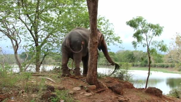 Old elephant stands chained to a big tree in Trincomalee, Sri Lanka.