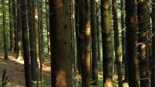 Pine Forest in the Carpathian Mountains.