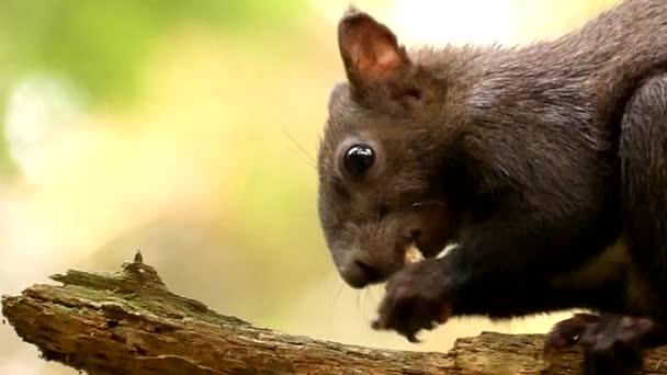 Arcát a fekete mókus, rágás, és eszik az anyát, a lassú mozgás.