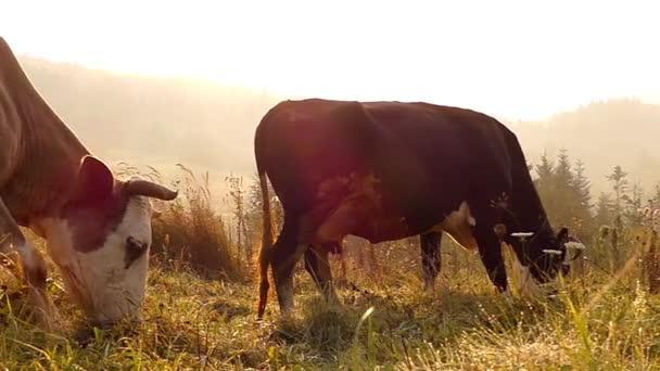 Dvě krávy pasoucí se na louce v horách. Pomalý pohyb při západu slunce