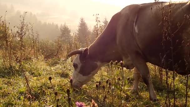 Hlava krávy, pasoucí se na louce v horách. Pomalý pohyb při západu slunce.