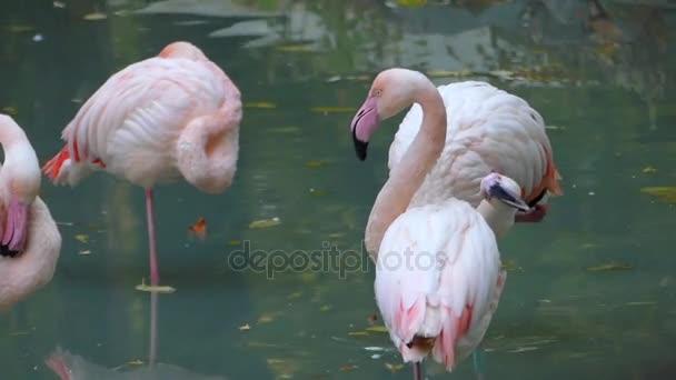 Čtyři krásné plameňáci stojící v rybníku v Evropě