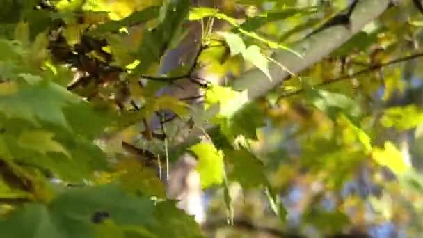 Zelené a žluté Maple šustění listí v lese podzim