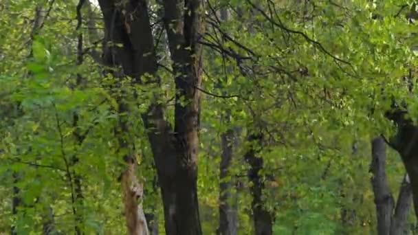 Malé kadeřavou lípy mává zelené listy v slunečný podzimní den