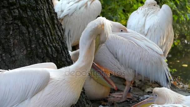 a nyáj rózsaszín pelikánok a egy integetett a szárnyait