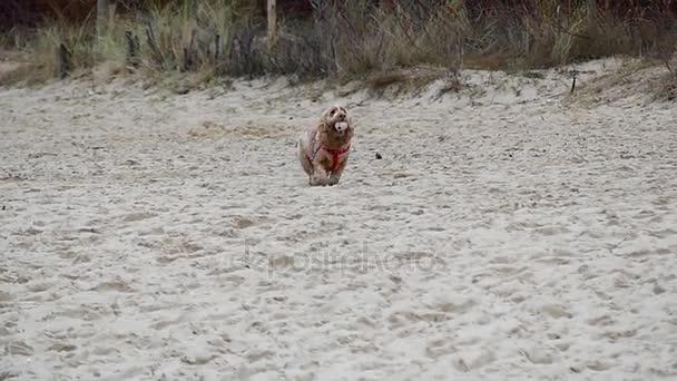 Čistokrevná kokršpaněl v zimním lese s míčkem v tlamě v pomalém pohybu