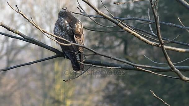 Divoký hnědý orel sedící na větvi v pomalém pohybu. Pohled zezadu.