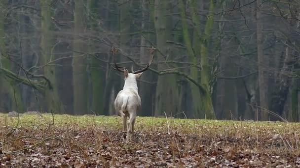 Séta az erdőben, a lassú mozgás, nagy fehér szarvas.