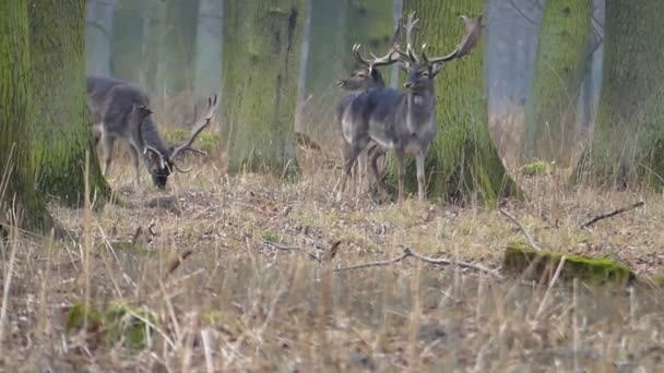 Három nagy szarvas gyönyörű kürttel állni-a parkban, és közülük kettő rágja szét a füvet