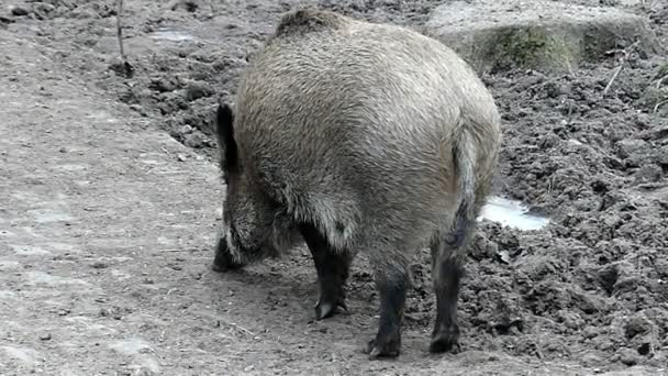 Eszik a állatkert vissza nézetben-lassított vad szürke sertés.