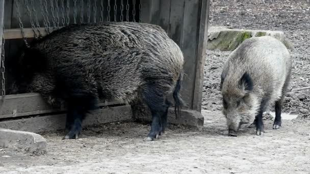 Két nagy vadon élő disznó közelében élelmiszer vályú az erdő, a lassú mozgás.