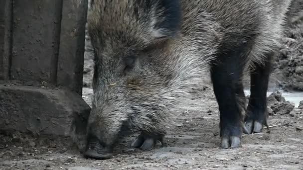 Eszik, és megállapította, nagy vaddisznó enni az állatkertben a lassú mozgás.