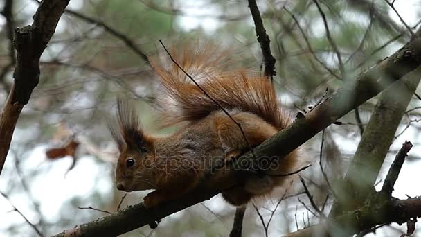 Red Squirrel Among the Tree Branches in the Forest in Slow Motion Resting.