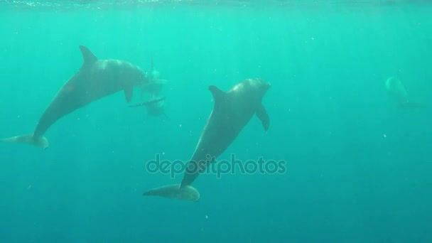 Több delfinek mozgó tengeri stranddal, hogy lövés víz alatti, a Vörös-tengeren