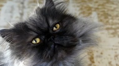 Fluffy Persian Cat Looks up in a Sluggish Way in Some Apartment