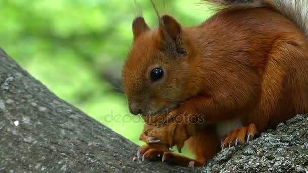 Narancssárga mókus ül profilja, és Gnaws egy anyát tartja azt, a hosszú karmok