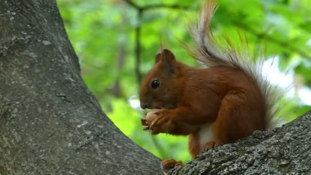 Vörös mókus Scrunches egy anya ülve egy ágat, az erdőben, nyáron - 4k