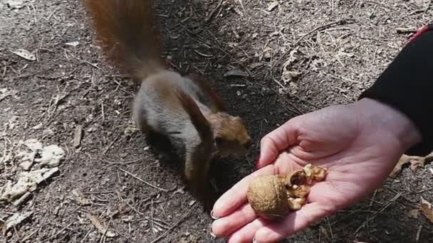 Lovely veverka má ořech z otevřené dlaně ženu a běhy v Slo-Mo