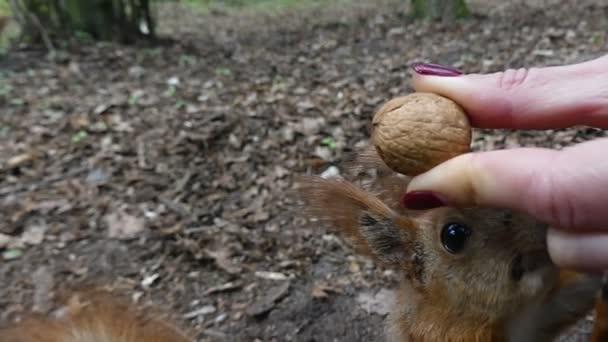 Statečný veverka má ořech od ženské ruky a uteče v lese