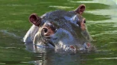 A Cautious Hippopotamus Dives in a Pond on a Sunny Day in Summer in Slow Motion