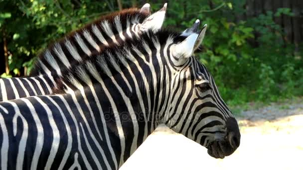 zwei herrlich gestreifte Zebras stehen im Sommer in Zeitlupe in einem Zoo
