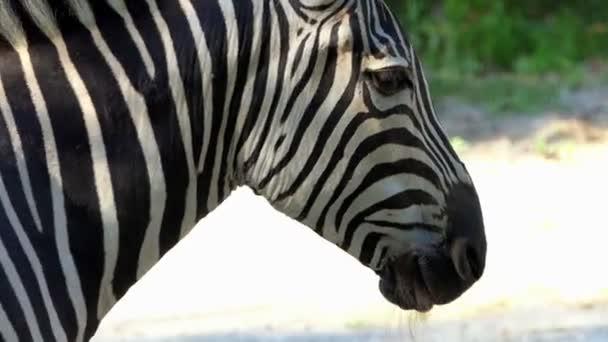a csíkos állat áll profil hirtelen a második pofa jelenik meg