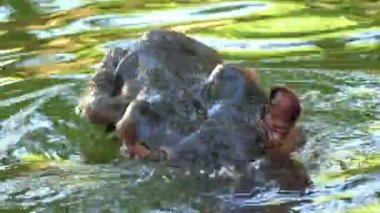 A Cautious Hippopotamus Swims and Dives in a Pond in Summer