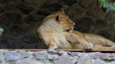 A Beautiful Female Lion Lies in Asone Wall Niche in a Zoo in Summer