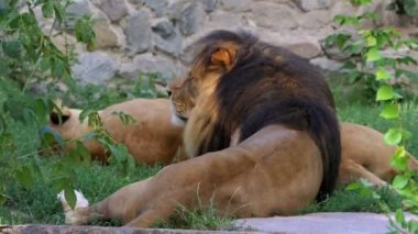 A Couple of Lions Lie on Stones Near a Wall in a Zoo in Summer